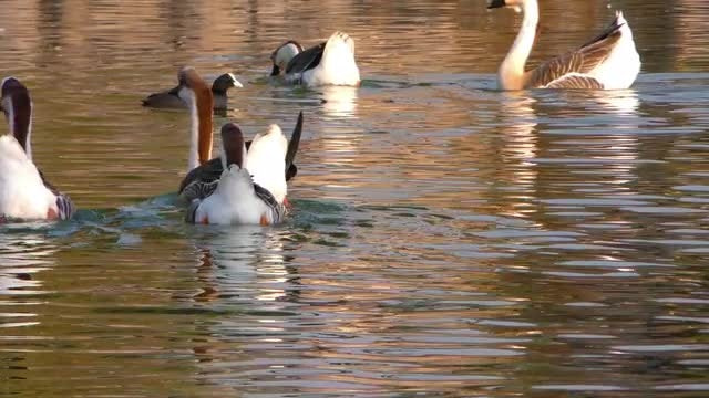 Geese Swimmin In Water: Stock Video
