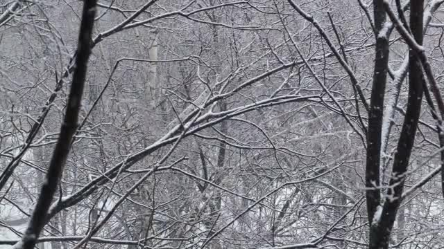Snow Falling On Dry Trees: Stock Video