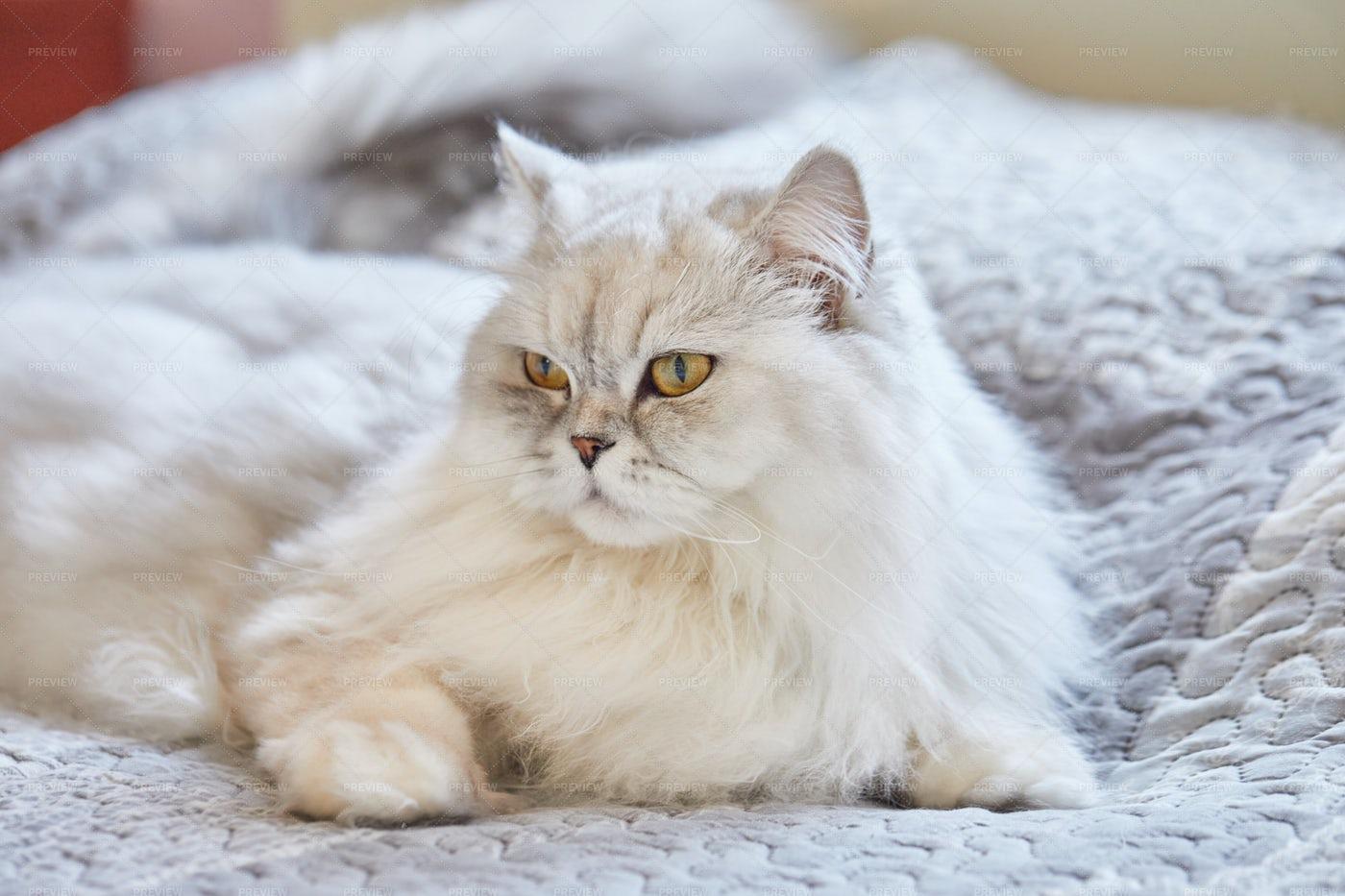 British Long-haired White Cat: Stock Photos