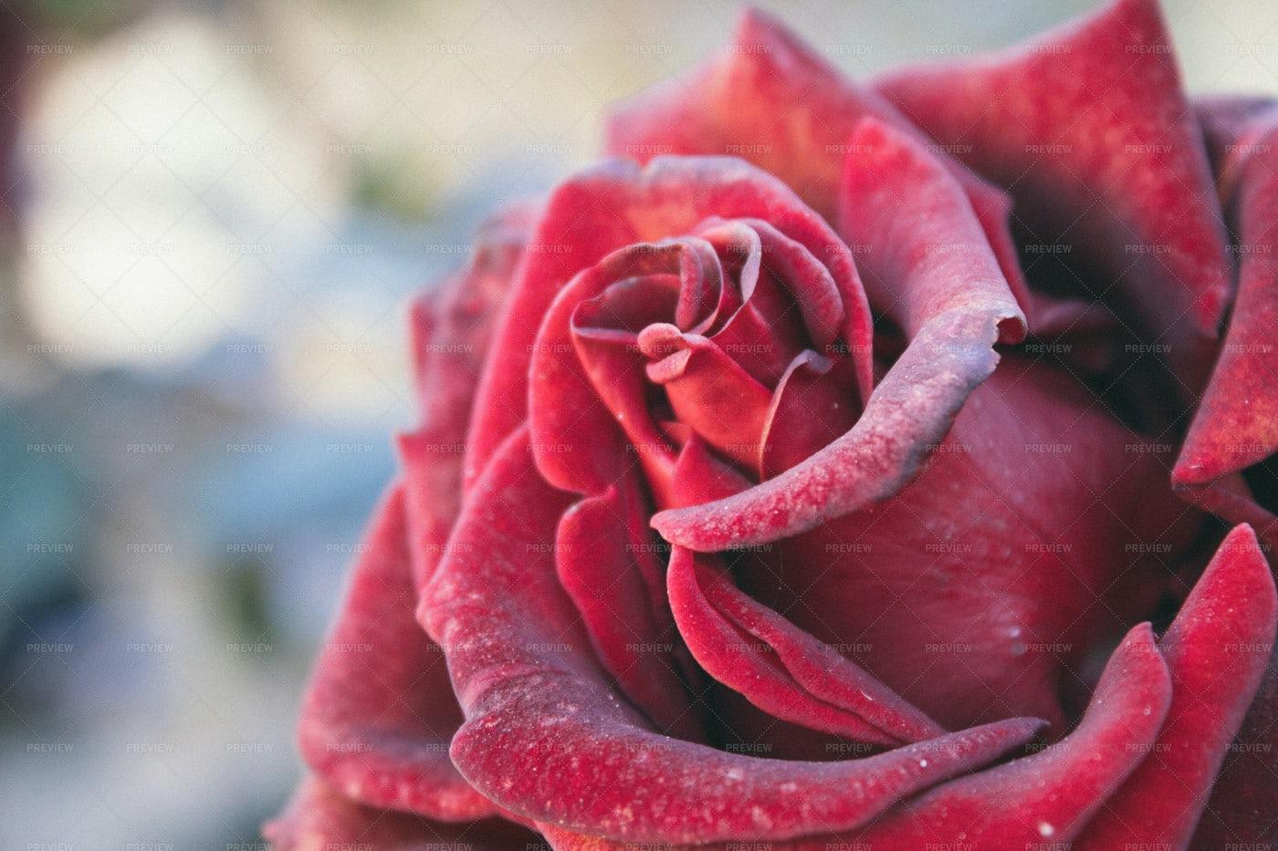 Beautiful Red Rose: Stock Photos