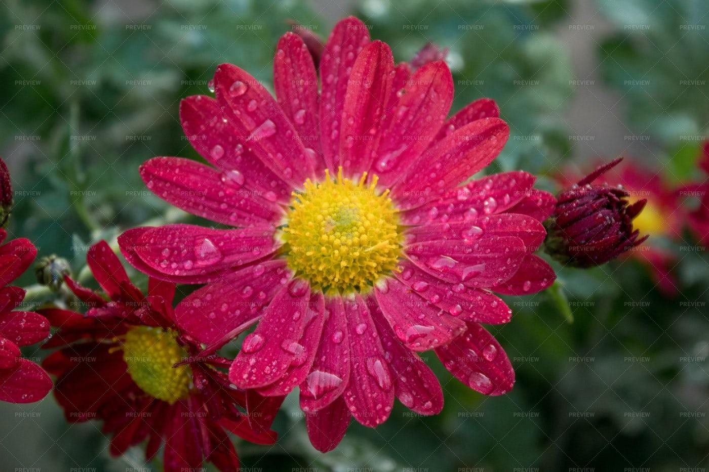 Beautiful Chrysanthemum Flower: Stock Photos