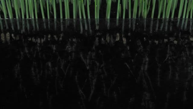 Barley Seeds Germinating And Growing: Stock Video