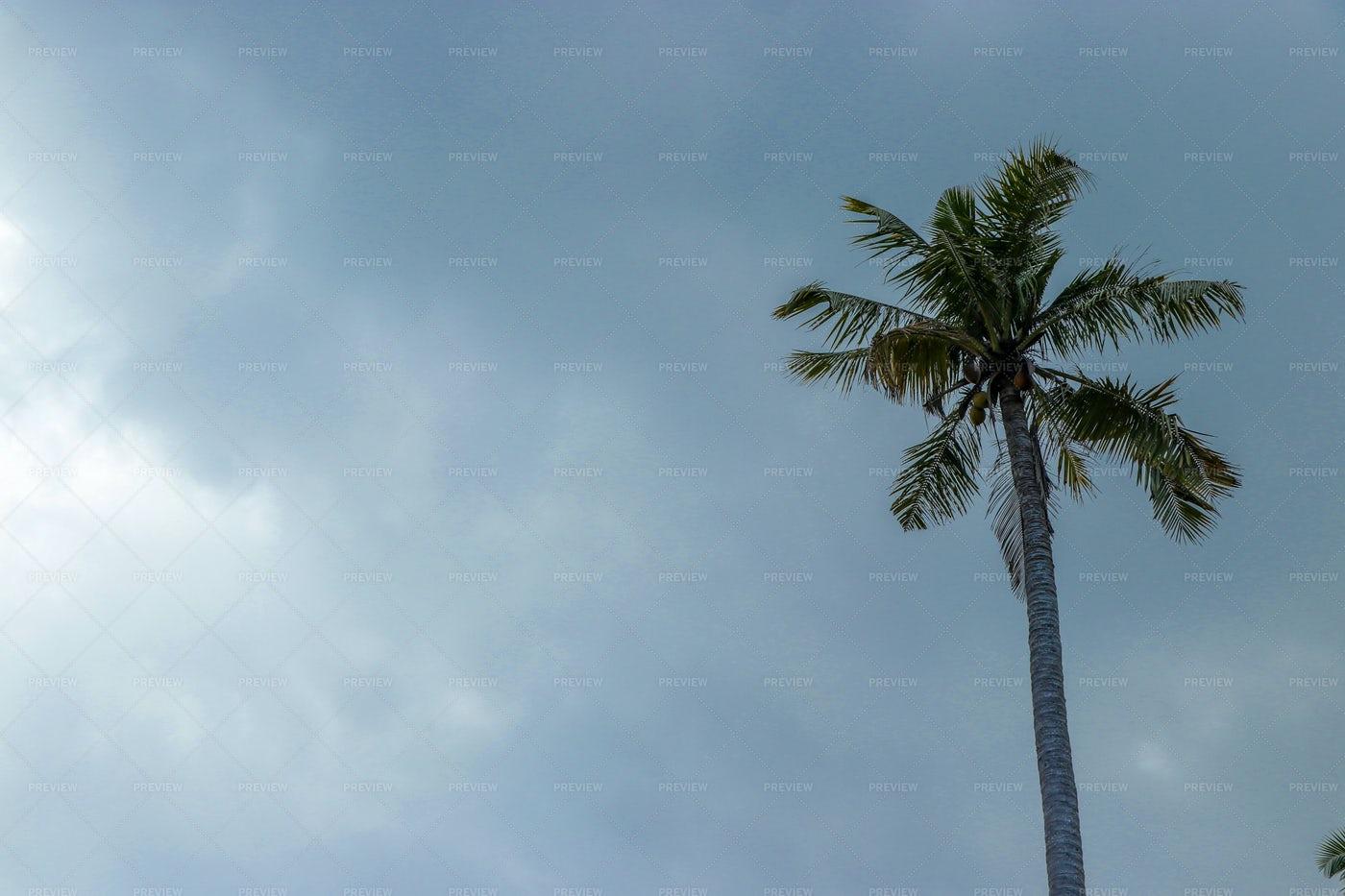 Tall Coconut Palm: Stock Photos