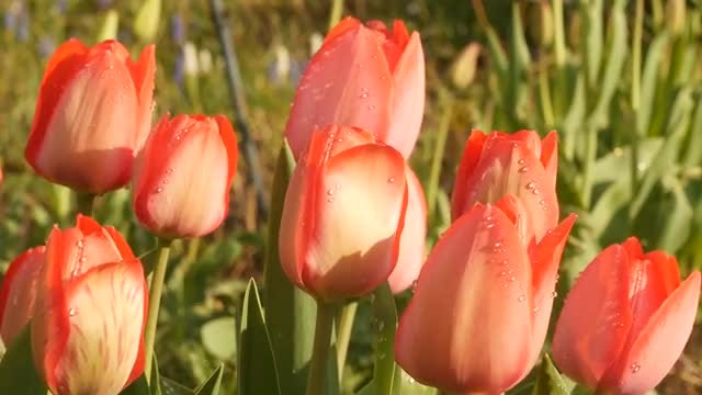 Beautiful Red Tulips With Dewdrops : Stock Video