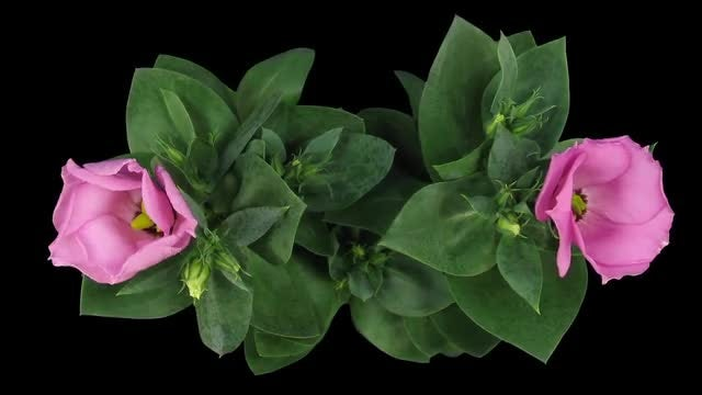 Time-lapse Of Blooming Japanese Rose: Stock Video