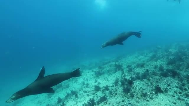 Seals Swimming Underwater: Stock Video