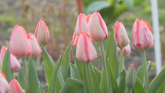 Flowers During The Morning: Stock Video