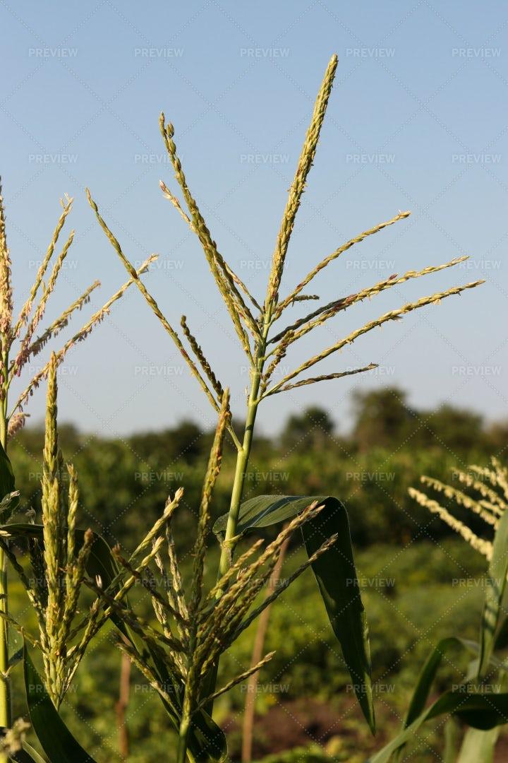 Unripe Corn Blooms: Stock Photos
