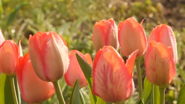 Tulips With Dew Under Sunlight: Stock Video