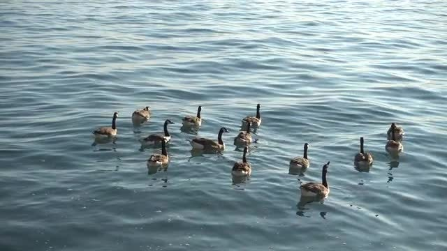 Canadian Geese Swimming In Ocean: Stock Video