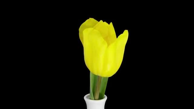 Time-lapse of Yellow Tulip in a Vase: Stock Video