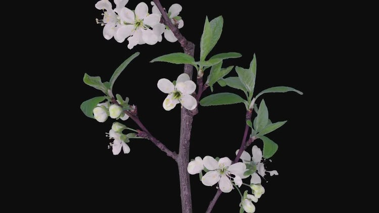 Time-lapse of Blooming Plum Tree Branch: Stock Video