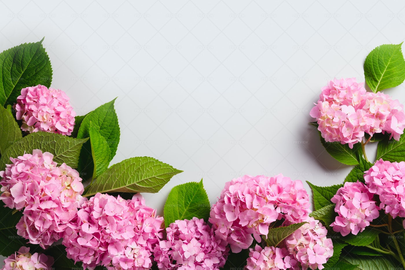 Border Of Fresh Pink Hydrangea Flowers: Stock Photos