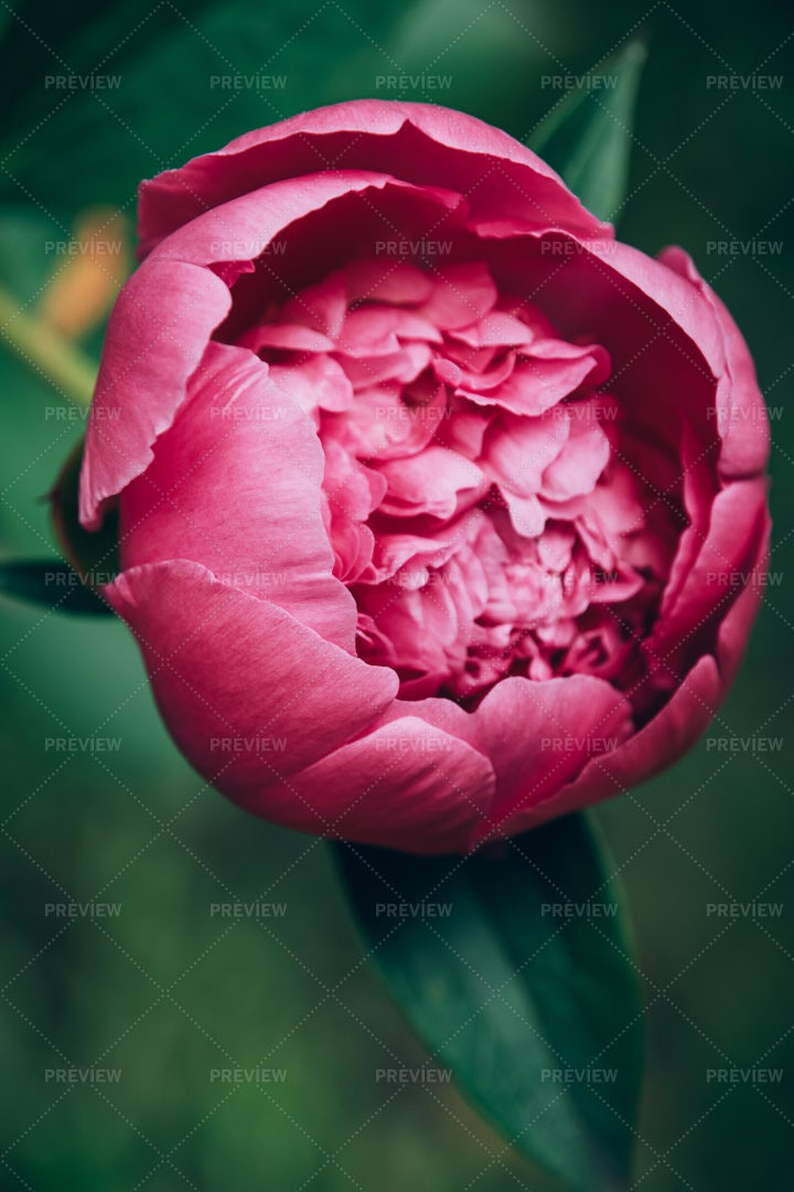 Blooming Pink Peony Flower: Stock Photos