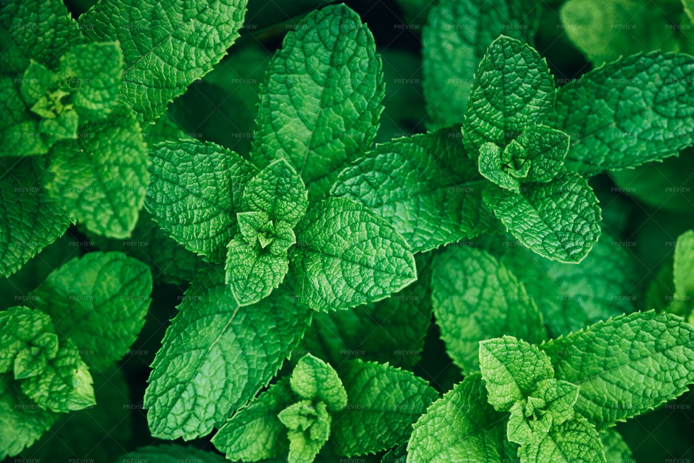 Mint Herb Plants: Stock Photos