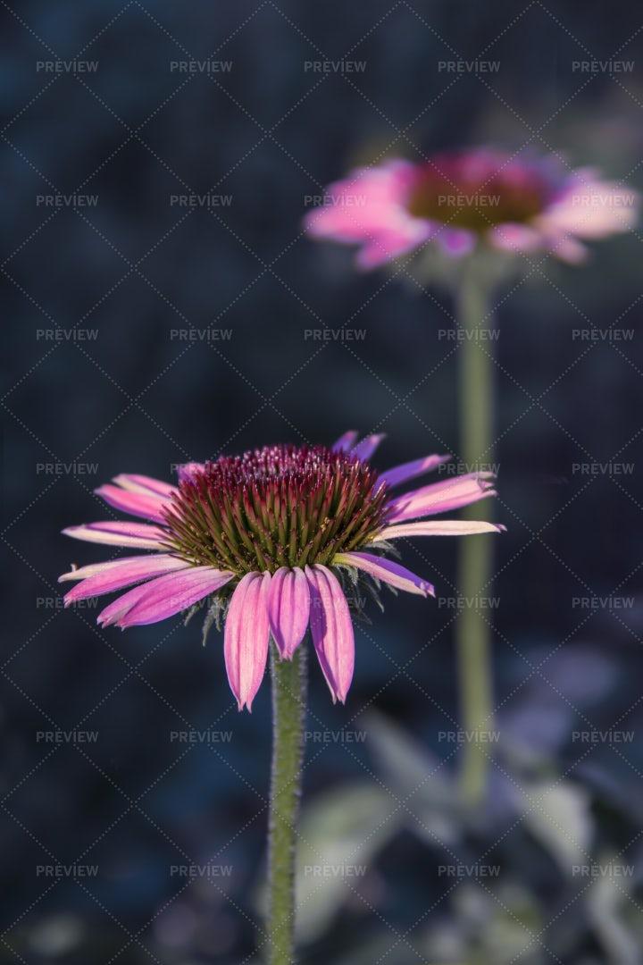 Echinacea Purpurea Flower: Stock Photos