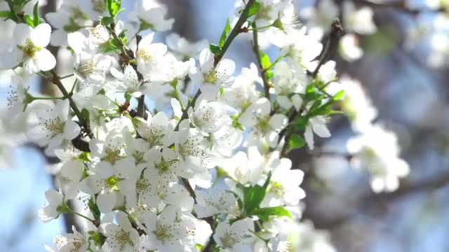 Flowers of a Plum Tree: Stock Video