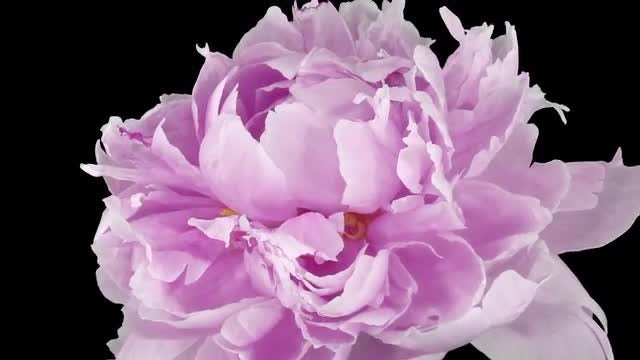 Pink Peony Flower Dying : Stock Video