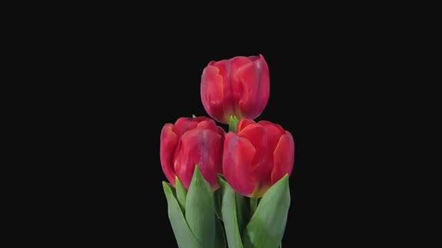 Beautiful Red Tulips Opening : Stock Video
