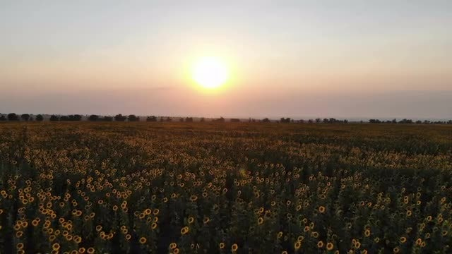 Sunflower Field At Sunrise: Stock Video