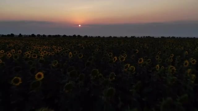Sunflower Field At Sunset: Stock Video