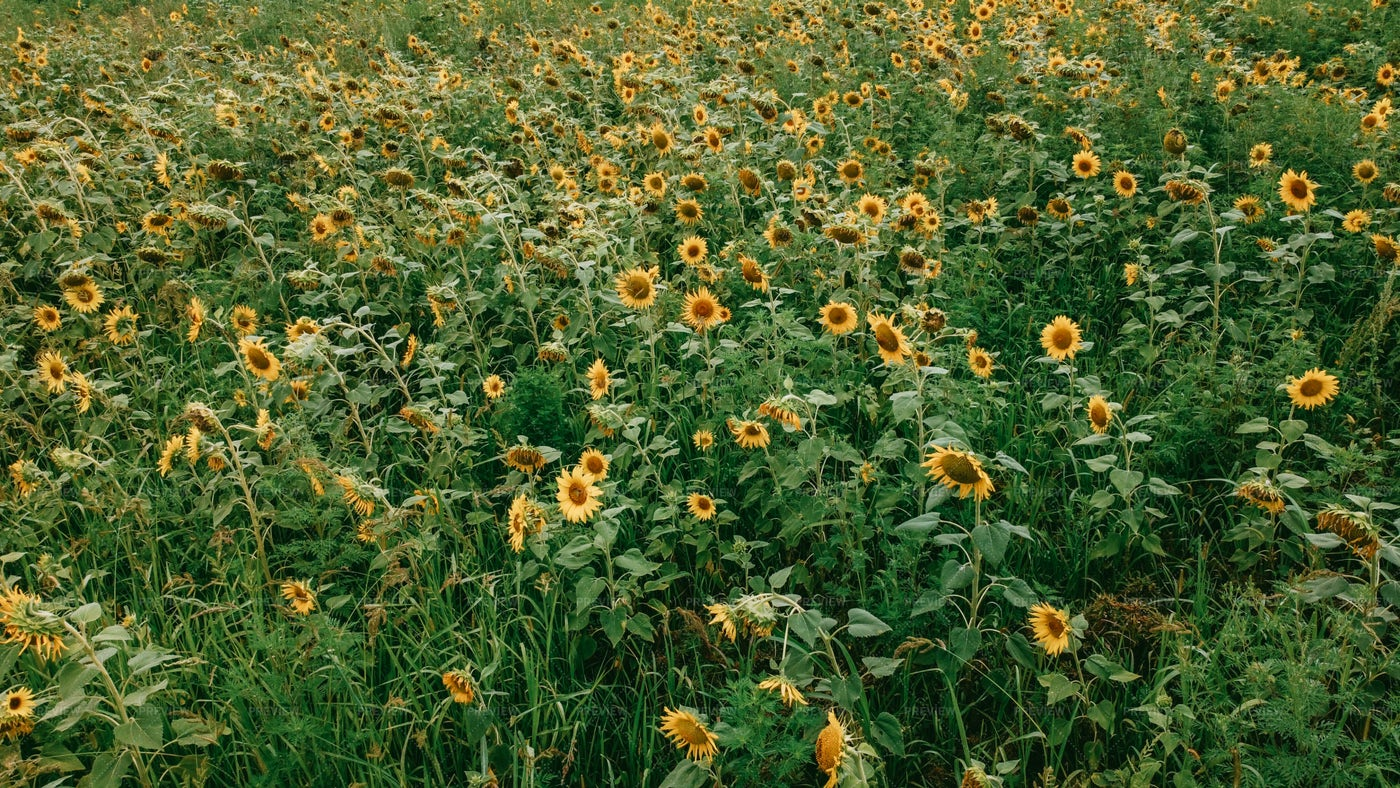 Sunflower Field: Stock Photos
